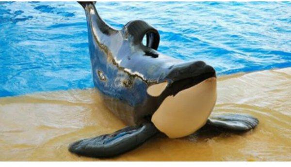 """Scandaleux : la Chine va ouvrir une """"ferme à orques"""" pour divertir les foules"""