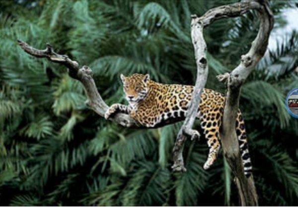 Le jaguar reprend son souffle en Amérique du Sud