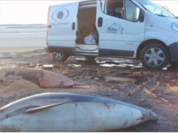 Mexique: Le cadavre d'un bébé marsouin, espèce au bord de l'extinction, découvert dans le golfe de Californie