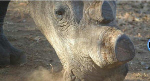 Rhinocéros abattu à Thoiry: Ségolène Royal saisit la justice