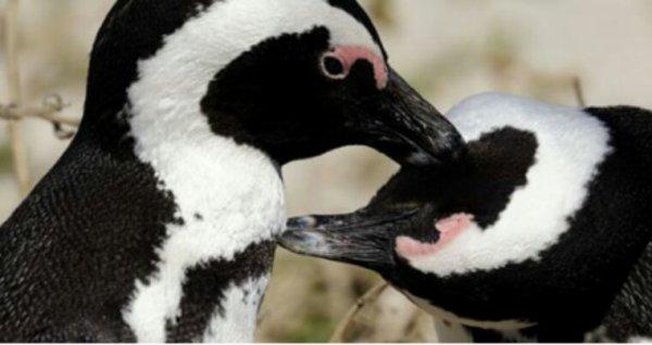 OISEAUX  Les manchots du Cap menacés par la surpêche et le réchauffement climatique