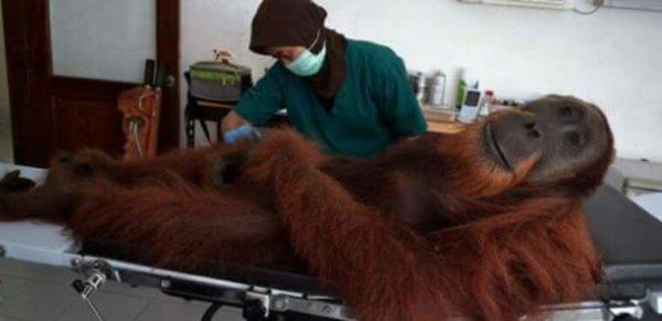 Indonésie : ils tuent et mangent un orang-outan, une espèce protégée
