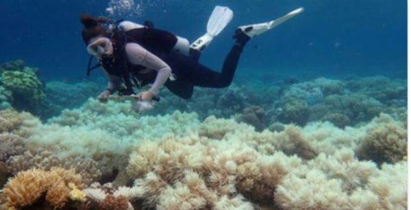 La Grande Barrière de corail ne se remettra pas du réchauffement des eaux
