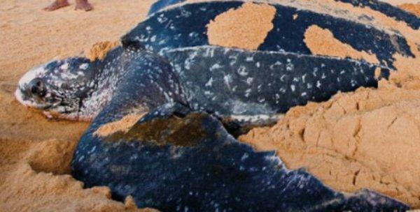 32 000 ½ufs de tortue interceptés par la police surinamaise