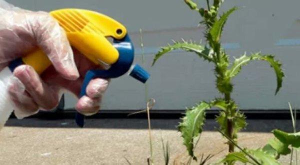 Le vinaigre blanc, un herbicide écologique méconnu