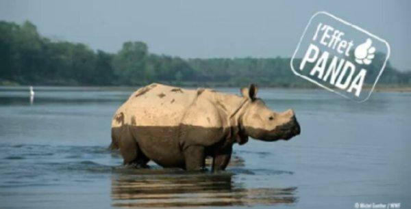 Un rhino du Népal transloqué avec succès