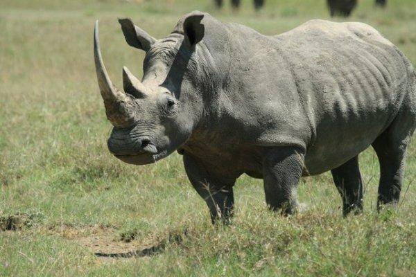 Le braconage de rhinocéros en Afrique du Sud