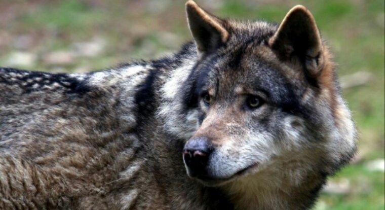 Par peur du loup, un maire du Larzac déconseille, par arrêté, les promenades ou les randonnées