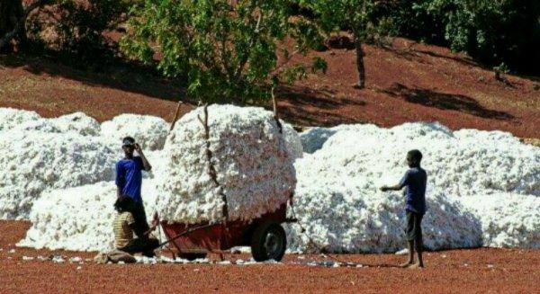 Le Burkina Faso chasse les OGM Monsanto de ses champs de coton. Résultat : une récolte miraculeuse !