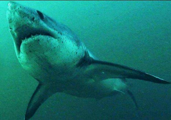 Bretagne : le grand retour du requin-taupe près des côtes