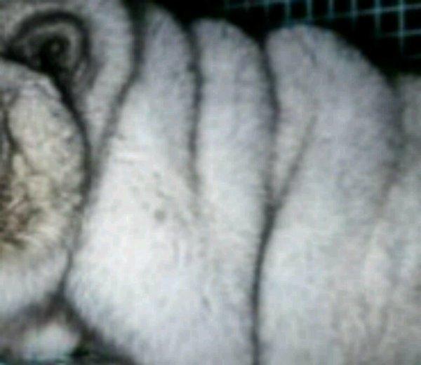 Finlande : Des renards bleus gavés pour leur fourrure - Une association déclenche un scandale de maltraitance animale