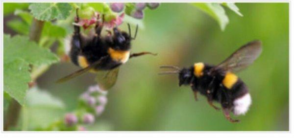 Néonicotinoïdes et pollinisateurs: deux nouvelles études prouvent leurs effets néfastes