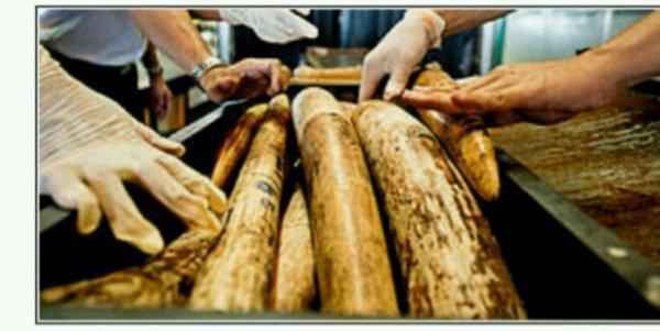 L'ivoire illégal provient majoritairement d'Afrique centrale