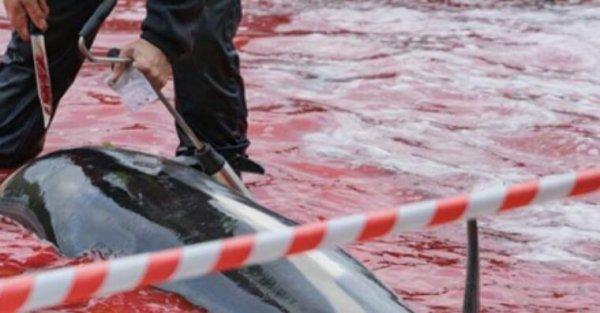 La Commission européenne ignore le Parlement européen et plus de 250 000 membres de l'opinion publique, permettant la poursuite du massacre des globicéphales