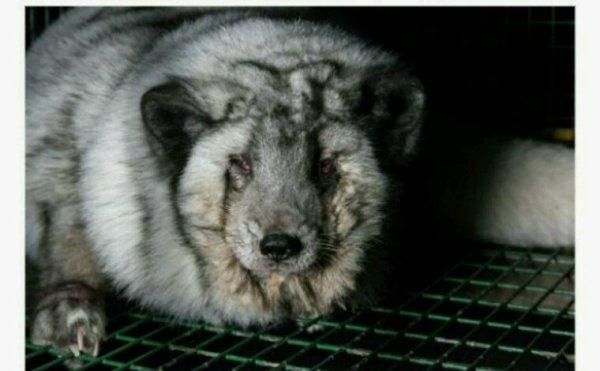 Des renards gavés à mort pour les fourrures de Gucci, Louis Vuitton et Michael Kors