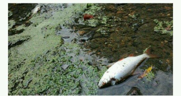 Un incident dans une usine de Lactalis provoque une hécatombe de poissons dans la Seiche