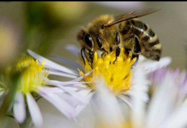 Pesticides «tueurs d'abeilles»: une nouvelle couleuvre majeure pour Nicolas Hulot?