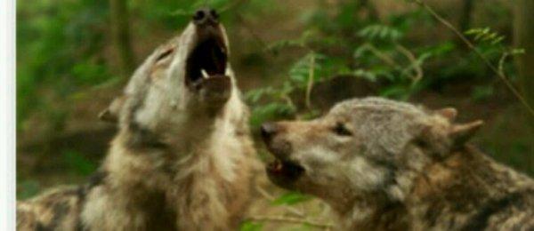 Quarante loups pourront être abattus pour la période 2017-2018