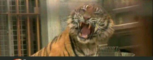 """Le dresseur de Fort Boyard répond à PETA qui demande chez """"Morandini Live"""" l'interdiction des tigres dans l'émission de France 2"""
