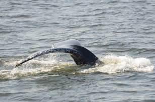 Les baleines de retour à New-York