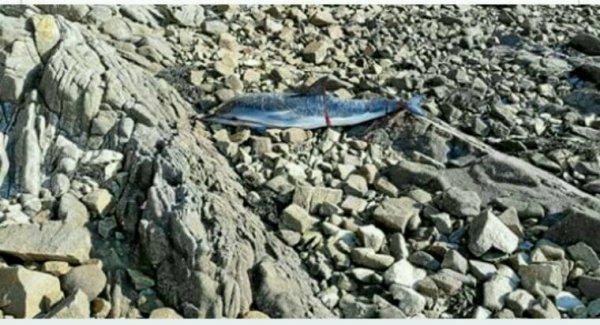 Larmor-Baden.Un dauphin échoué et sauvé !