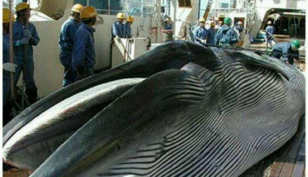 La Norvège tente de relancer la chasse à la baleine