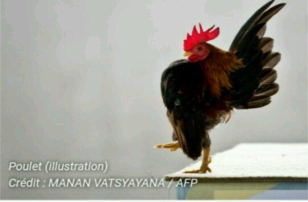 Lyon : des poulets brûlés vifs pour une exposition indignent des défenseurs d'animaux