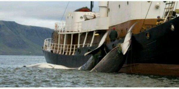 La chasse à la baleine est en crise... la Norvège décide donc de relever les quotas de 30%