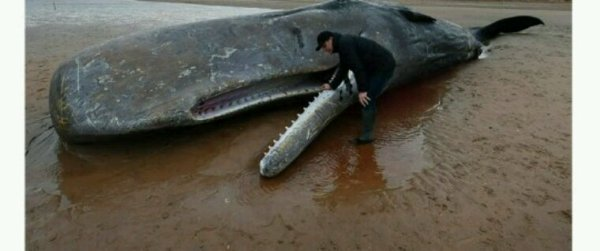 Espagne: un cachalot retrouvé mort avec 29 kilos de plastique dans l'estomac