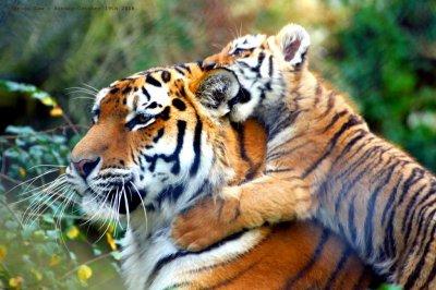 un tigre avec son petit