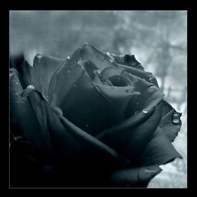 une rose....