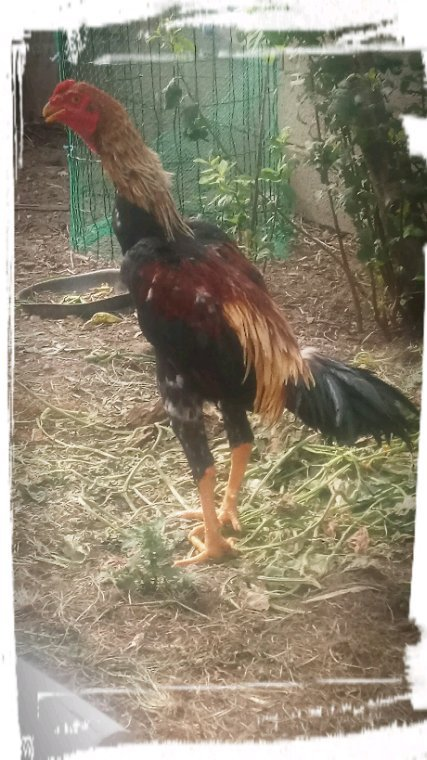 Reprise des coq
