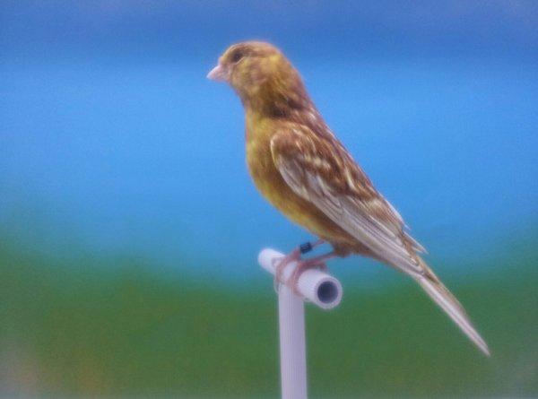 phaeo maschio giallo intenso