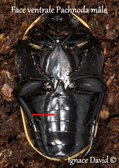 Elevage Pachnoda (presque pareil pour toutes les espèces de pachnoda).
