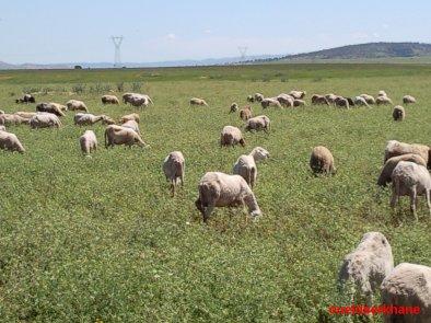 Sidi Brahim : La tonte des moutons