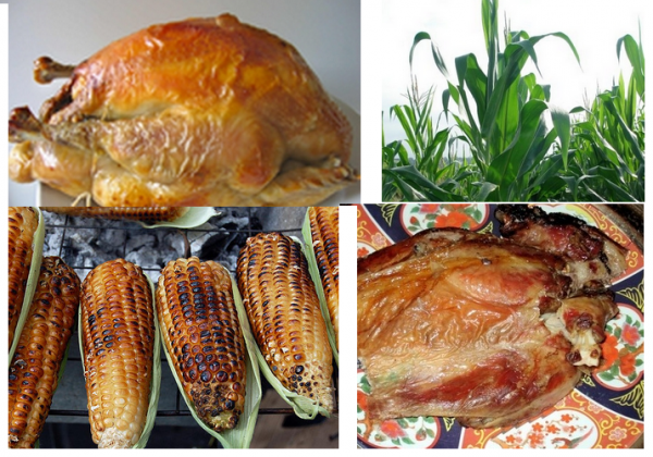 Le Maïs: Aliment stratégique pour nos moutons et nos poulets-----Dr Douar Hadj