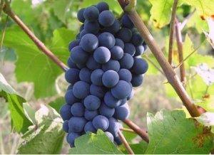On veut une grappe de raisin et non une bouteille de vin.    par Dr.Douar