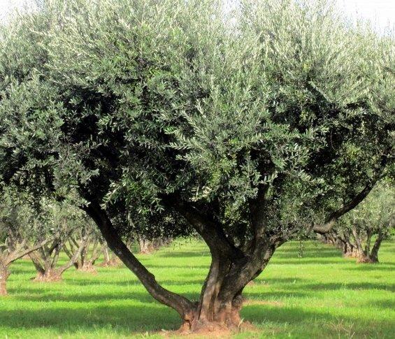 Mon histoire avec un olivier.