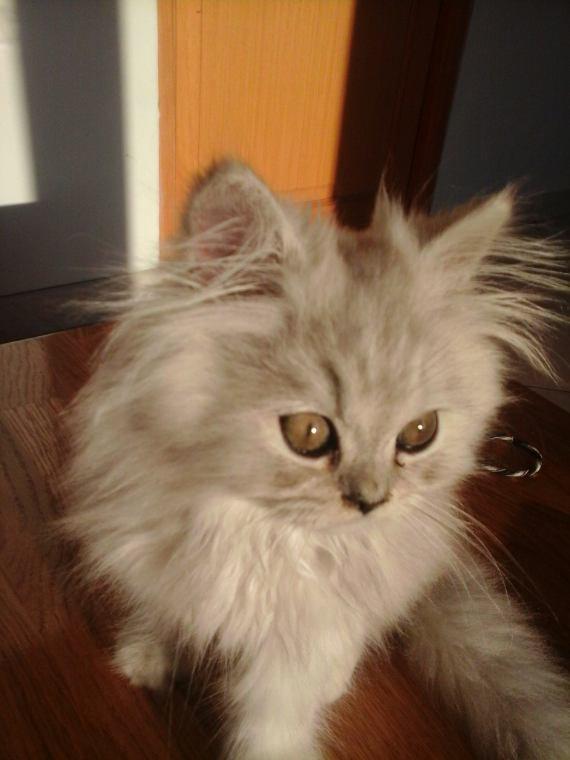 Yuki, le chaton (femelle) de ma tante