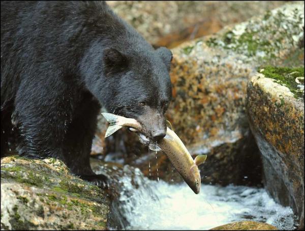 Est-ce l'ours, l'homme qui a vu l'ours ou le météorologue qui aura raison?