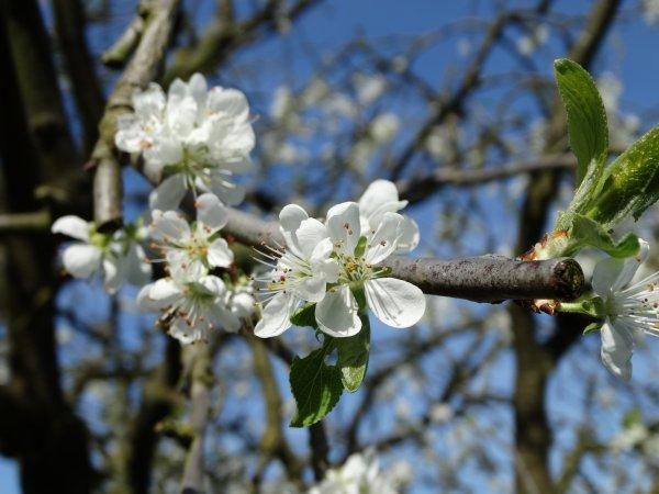 Cerisier et prunier en fleurs sur fond de ciel bleu.