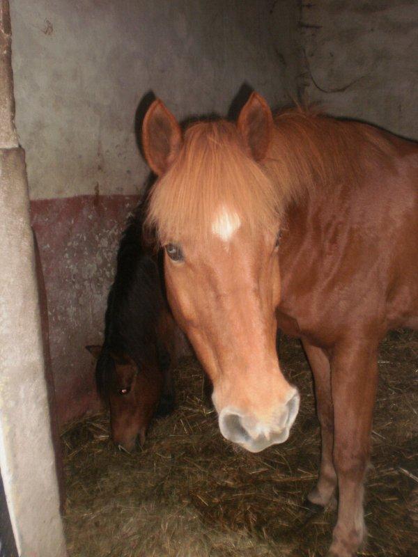 Les poneys :