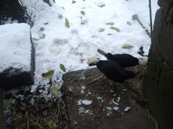 pf les poulettes aiment pas la neige