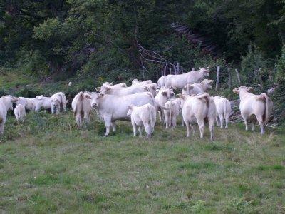 troupeau vache