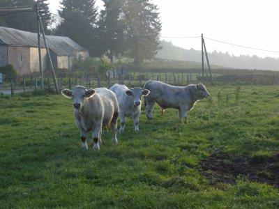 veau dans le champ