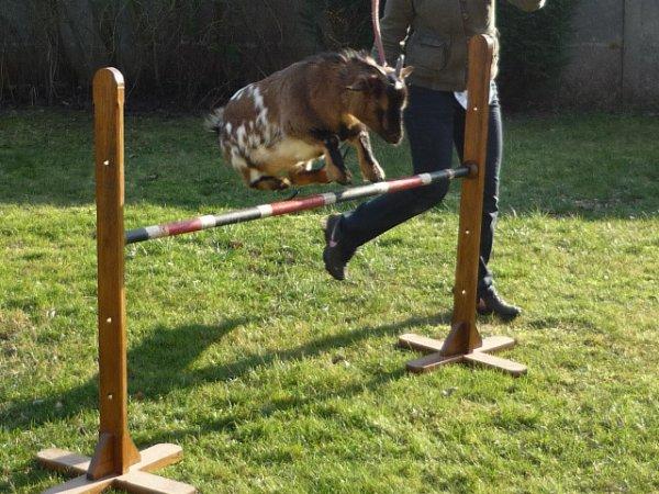 Bon c'est quand les concours d'obstacle pour les chèvre?? XD