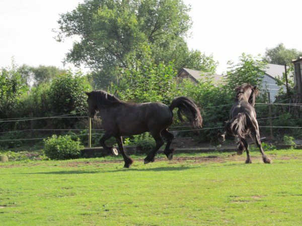 Elevage de poneys Fell