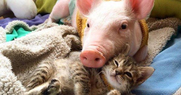 copain comme cochon ! ou ces animaux qui se supporte  !