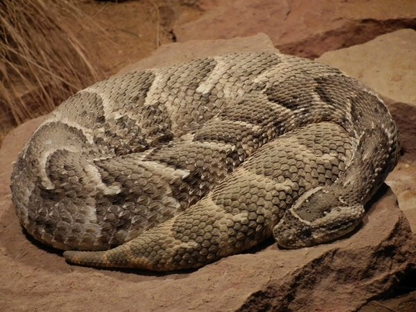Les serpents les plus dangereux-1