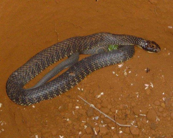 Serpents dangereux-2